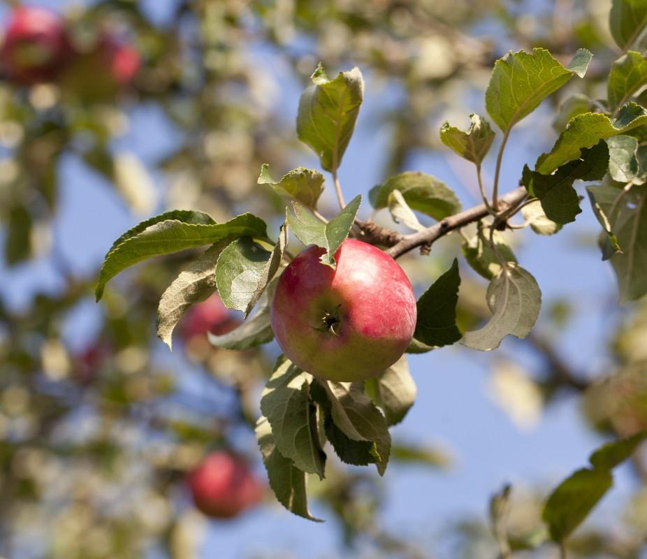 jablko-w-sadzie-medium1099