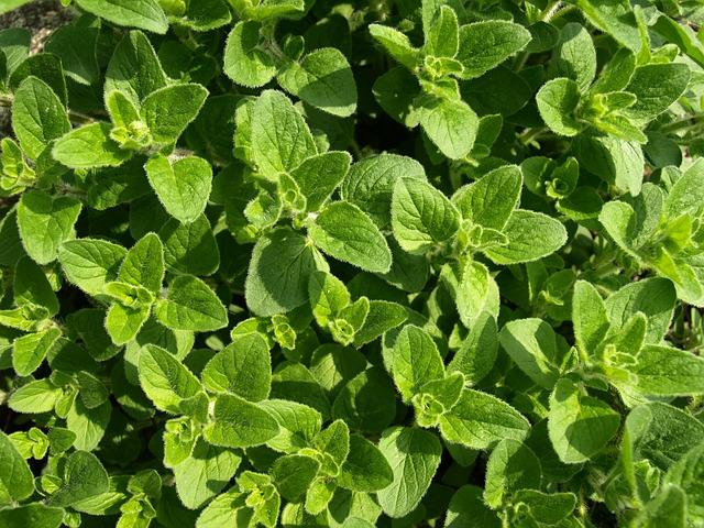 ogródek ziołowy na parapecie